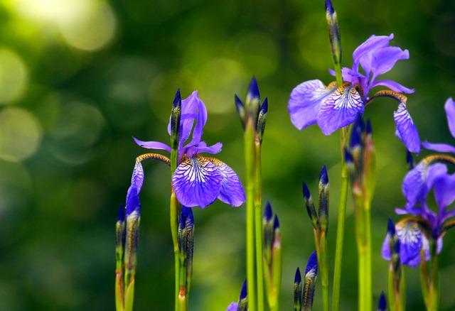 К чему снятся цветы ирисы